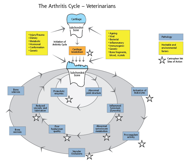 Arthritis cycle